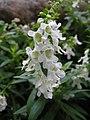 香彩雀(天使花) Angelonia salicariifolia -香港公園 Hong Kong Park- (9240279518).jpg