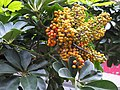 鵝掌藤 Scheffera arboricola - panoramio.jpg