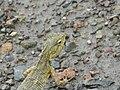 ... garden lizard (2724242033).jpg