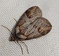 . Chesias isabella. Geometridae - Flickr - gailhampshire.jpg