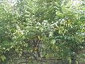 02922jfAverrhoa Tree Fruits carambolafvf 05.JPG