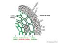 03 02 10 c 5b ectomicorriza anatomía, Basidiomycota (M. Piepenbring).png