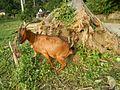09409jfCattle goats grasslands Roads San Miguel, Bulacanfvf 07.jpg