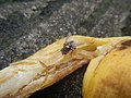 1400Common houseflies eating Bananas 14.jpg