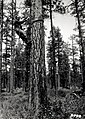 1933. James A. Beal with climbing spurs and rope, removing bark from Dendroctonus brevicomis (western pine beetle) infested tree for determination of emergence. Sisters, Oregon. (34203638103).jpg