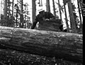 1957. Ken H. Wright examines Douglas-fir bark beetle galleries on right-of-way logs. Coos County, Oregon. (33080301780).jpg