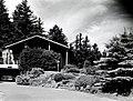 1960. Entomologist Peter W. Orr examines ornamental mugho pine for European pine shoot moth. Portland, Oregon. (37989921474).jpg