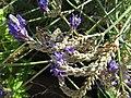 20-09-2017 Geranium Bronze butterflies (Cacyreus marshalli), Albufeira.JPG