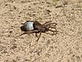 20071030 Wolf Spider Carrying Egg Sac.jpg