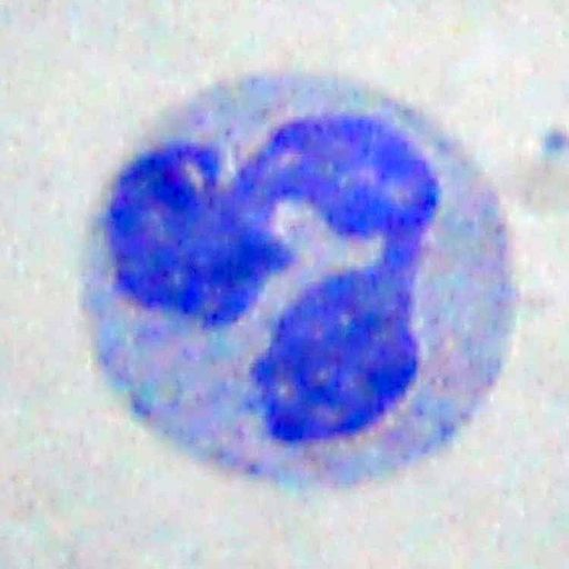 Neutrophil, polymorphonuclear leukocyte (PMN), phagocytosis