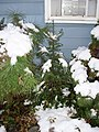 2011-10-30 08 00 00 05 A Balsam Fir sapling at a house along Terrace Boulevard after 3.2 inches of snow fell the previous day during the 2011 Halloween nor'easter in Ewing Township, Mercer County, New Jersey.jpg