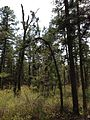 2013-05-10 14 09 33 Gnarled Pitch Pine saplings along the Mount Misery Trail in Brendan T. Byrne State Forest.jpg