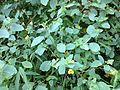 2013-08-26 11 30 57 Jewelweed in the shade along the shore of the pond below the Mercer Lake Dam in Mercer County Park.jpg