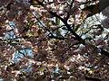 20130504 Maastricht Stadspark 10 Blossoming tree.JPG