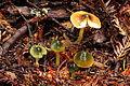 2014-03-30 Gliophorus psittacinus (Schaeff.) Herink 412338.jpg