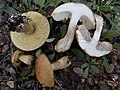 2014-12-07 Leccinellum lepidum (H. Bouchet ex Essette) Bresinsky & Manfr. Binder 490732.jpg