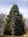 2014-12-30 12 05 30 Blue Spruce and Norway Spruce on Broad Avenue in Ewing, New Jersey.JPG