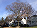 2014-12-30 13 39 50 American Beech on Maple Avenue in Ewing, New Jersey.JPG