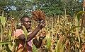 2015.11-435-047ap1 sorghum,harvesting,cutting INERA Res.Stat.Farako-Ba(Bobo-Dioulasso Dpt),BF fri06nov2015-0938h.jpg