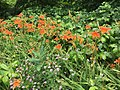2016-06-16 14 46 00 Orange day-lilies blooming along Franklin Farm Road between Old Dairy Road and Stone Heather Drive in the Franklin Farm section of Oak Hill, Fairfax County, Virginia.jpg