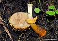 2016-08-12 Descolea flavoannulata (Vassilieva) Horak 650125.jpg