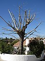 2018-02-24 Pruned tree, Urbanização Jacarandá Albufeira.JPG