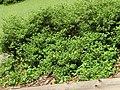 2018-05-22 (114) Dasiphora fruticosa (shrubby cinquefoil) at Bichlhäusl, Tiefgrabenrotte, Frankenfels, Austria.jpg