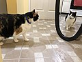 2020-01-19 18 05 27 A Calico cat reacting to a mirror in the Franklin Farm section of Oak Hill, Fairfax County, Virginia.jpg