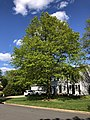 2020-05-12 17 13 48 A Pin Oak in spring along Thorngate Drive in the Franklin Farm section of Oak Hill, Fairfax County, Virginia.jpg