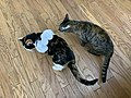 2020-07-22 17 30 36 A tabby cat and Calico cat with a paper necklace standing on a wood floor in the Franklin Farm section of Oak Hill, Fairfax County, Virginia.jpg