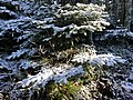 2020-10-17 14 36 32 Balsam Fir boughs covered in a light coating of snow along the Lookout Rock Trail on Equinox Mountain in Manchester, Bennington County, Vermont.jpg