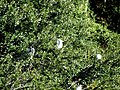 23 Egrets Beaufort SC 6405 (12367541395).jpg