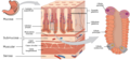 2415 Histology of StomachN esp.png