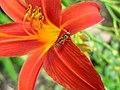 2822 - Innsbruck - Hofgarten - Flower and Syrphidae.JPG