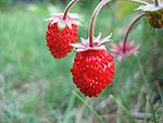2 wild strawberries very close up UK 2006.JPG