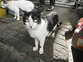 3129Black and white cat portraits in the Philippines 16.jpg