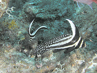 Sciaenidae - Adult and juvenile spotted drumfish, St. Kitts