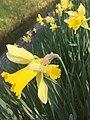 4328.Wilde.Narcis.Nieuwlande.UitWeiland.Afkokmstig.Narcisus.jpg
