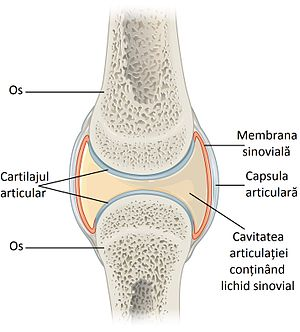 907 Synovial Joints (ro).jpg