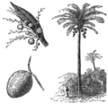 AGTM D126 Cocoanut palm.png