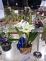 APOC 12 - orchid exibition in Bangkok (2016) (27347295112).jpg