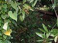 A -Mango in a mango tree.jpg