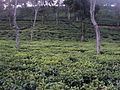 A Tea Garden of Cachar, Assam..JPG