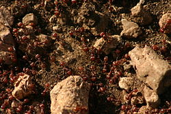 A Texas Ant Colony.jpg
