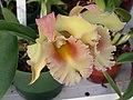 A and B Larsen orchids - Brassolaeliocattleya Ports of Paradise GGG x Brassolaeliocattleya Hemlock Pass DSCN4503.JPG