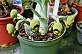A and B Larsen orchids - Catasetum tenebrosum female 1011-9.jpg