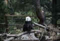 A bald eagle at the Cheyenne Mountain Zoo in Colorado Springs, Colorado LCCN2015633983.tif