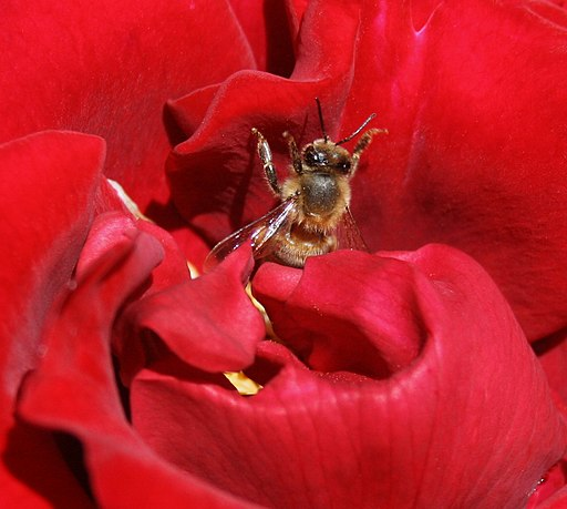 A bee and a rose.JPG