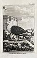 A black-backed gull. Etching with engraving. Wellcome V0022256.jpg