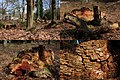 A clear example of brownrot by wood loving mushrooms at this dead oaktrunk at Warnsborn - panoramio.jpg